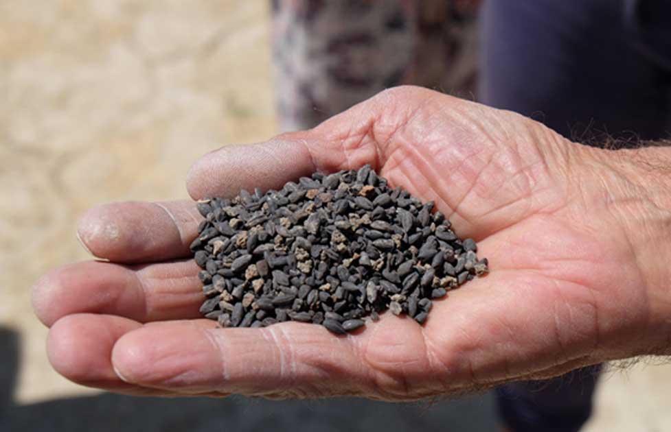 Portada - semillas de hace 2.800 años halladas en un antiguo castillo de Turquía. (Fotografía: Oguzhan Ozgur)
