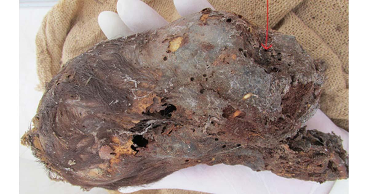 Portada - Cabeza momificada elongada de un recién nacido descubierta en Perú. (Fotografía: Brien Foerster / Hidden Inca Tours)