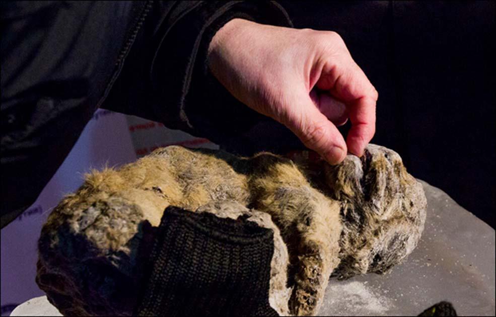 Portada - Nuevas investigaciones han revelado que los cachorros congelados de león de las cavernas descubiertos en Siberia en el año 2015 vivieron en una época muy anterior a lo que se creía en un principio, hace entre 25.000 y 55.000 años. Uno de ellos se encuentra 'perfectamente' conservado. Fotografía: Vera Salnitskaya.