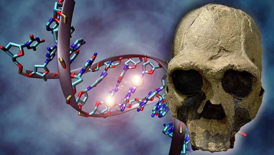 Portada-Composición; Molécula de ADN (C. Bock/Wikimedia Commons), y réplica de una calavera fósil de Homo ergaster (Homo erectus africano) (CC BY 2.5).