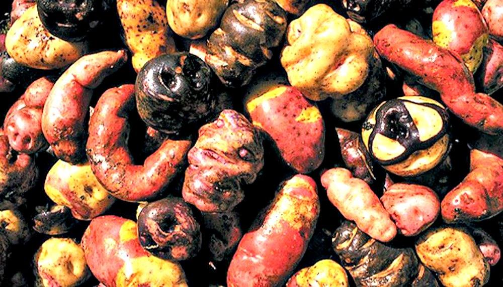 Portada - Distintas variedades de solanum tuberosum, la mundialmente famosa papa común. (Fotografía: LaRed21/Food Cultura)