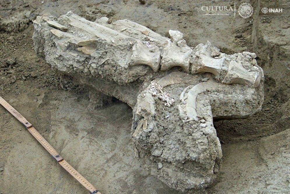 Portada - Restos óseos de un bisonte localizados en el municipio mexicano de Terán. (Fotografía: Araceli Rivera/INAH)