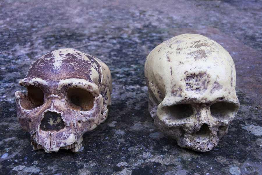 """Cráneo de neandertal (izquierda) comparado con un cráneo humano moderno (derecha). Un estudio reciente ha revelado que solo el 7% del ADN humano es único. El otro 93% del ADN humano se comparte con nuestros antiguos """"primos"""", los neandertales y los denisovanos. Fuente: procy_ab/ Adobe Stock"""