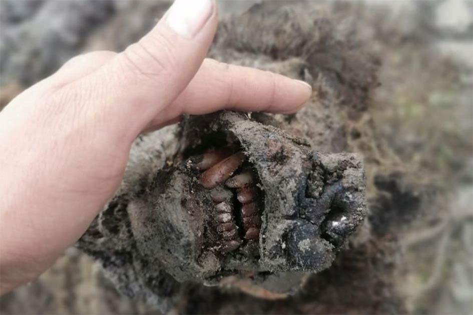 El hocico perfectamente conservado del oso adulto de la Edad de Hielo encontrado recientemente en Rusia