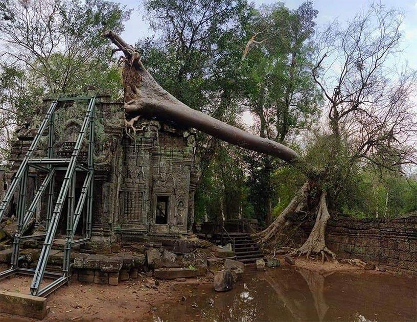 Tormentas severas causan la caída de árboles antiguos en Angkor Wat. Fuente: Knongspor.