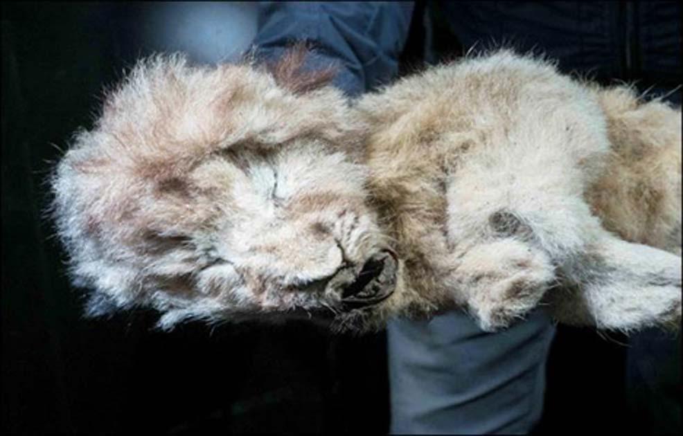 """El cachorro de león cavernario ahora conocido como """"Esparta"""". Fuente: Siberian Times"""