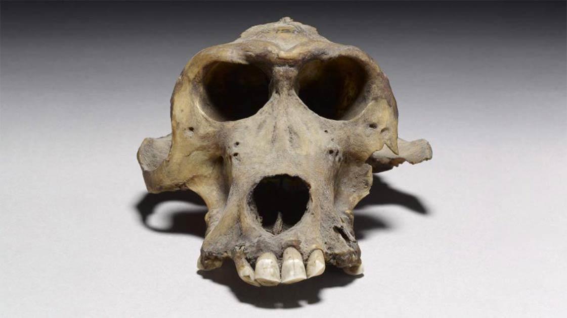 Este cráneo de babuino de 3300 años puede provenir de la perdida Tierra de Punt.