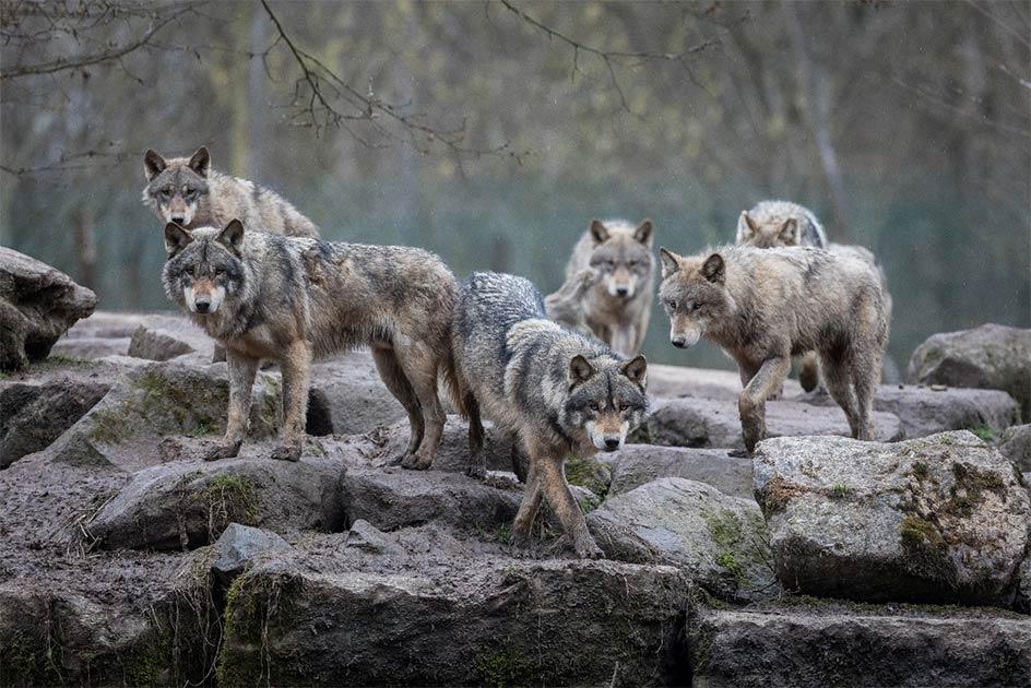 La domesticación de los perros comienza con las manadas de lobos y cómo interactuaban con los primeros cazadores-recolectores.