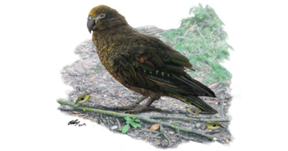 Reconstrucción del loro Heracles, cuyos huesos de pájaros gigantes lo muestran enano Kuiornis de 8 cm de altura, pequeños pececillos de Nueva Zelanda que se arrastran por el suelo del bosque. Fuente: Brian Choo / Flinders University