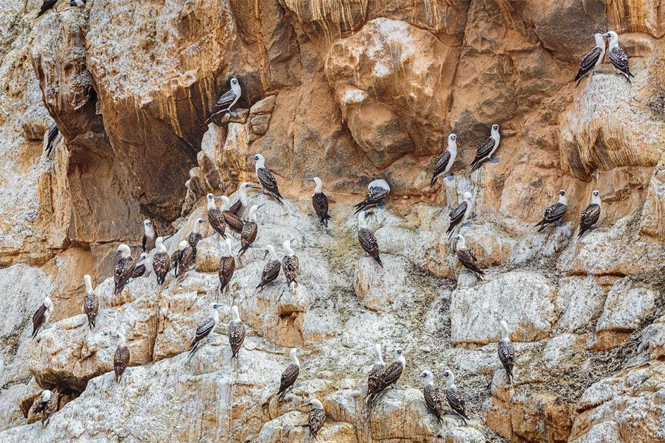 Piqueros peruanos (Sula variegata) una fuente de guano de aves marinas en un acantilado de aves en la costa del Pacífico del norte de Chile.