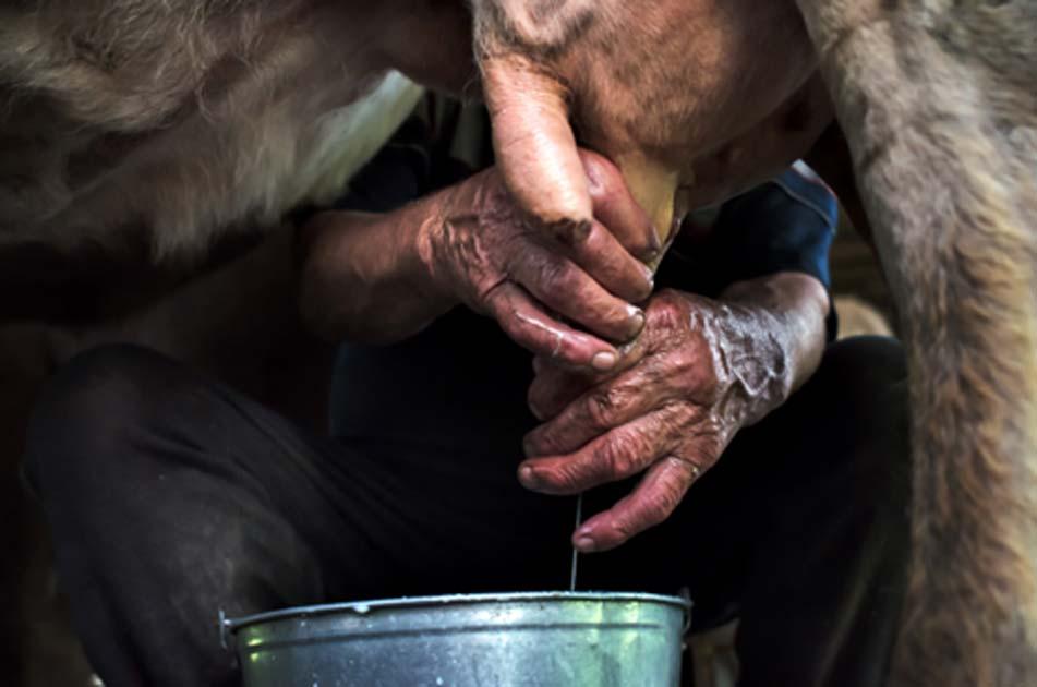 Ordeñando una vaca. Crédito: stanislavss/ Adobe Stock