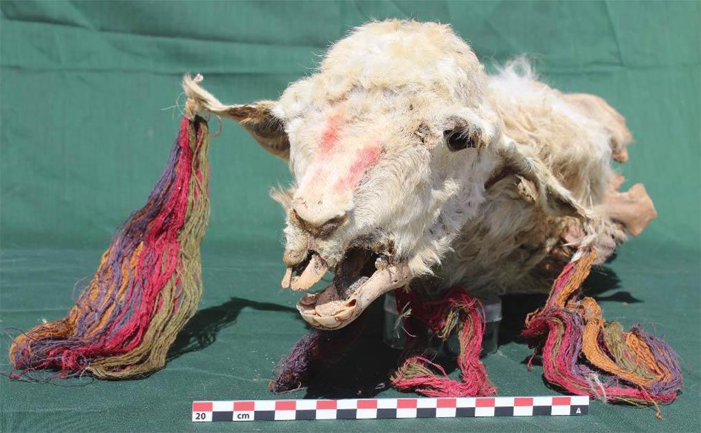 Cabeza de una de las llamas sacrificadas. Tenga en cuenta las borlas de colores en sus orejas.