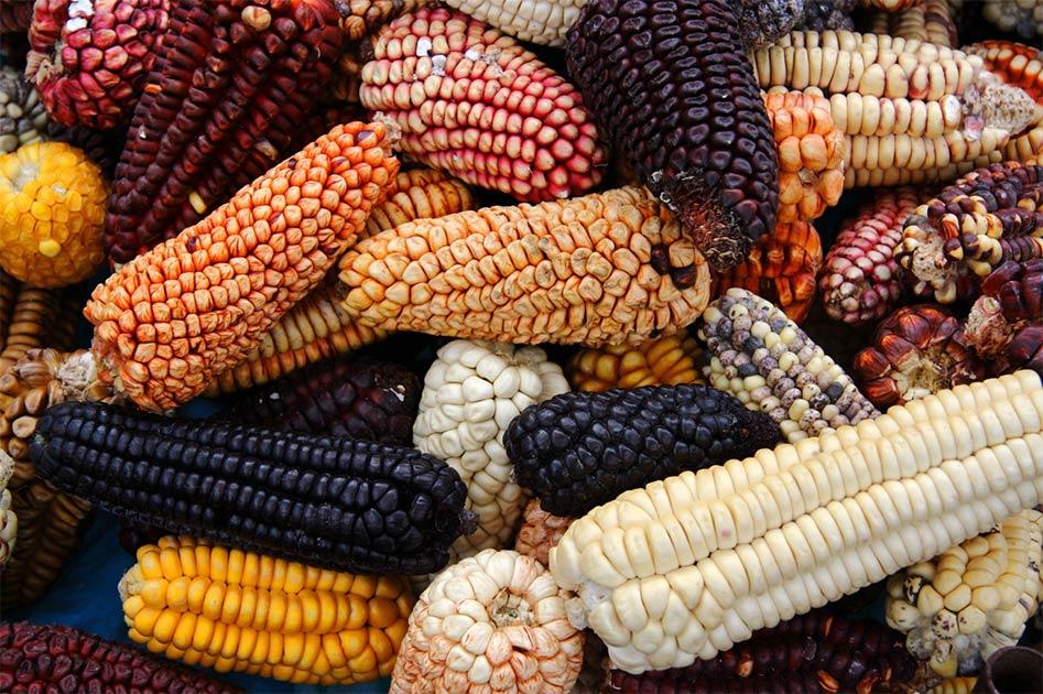 Mezcla de variedad nativa peruana de maíz / maíz de la herencia. Fuente: Akarawut/ Adobe Stock.