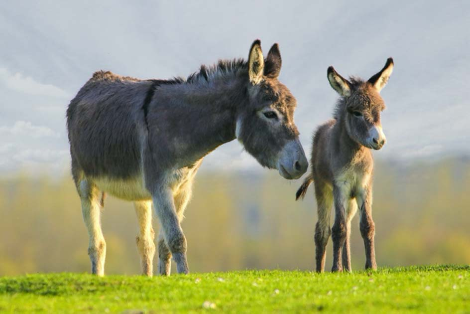 burro madre y bebé. Crédito: Geza Farkas/ Adobe Stock
