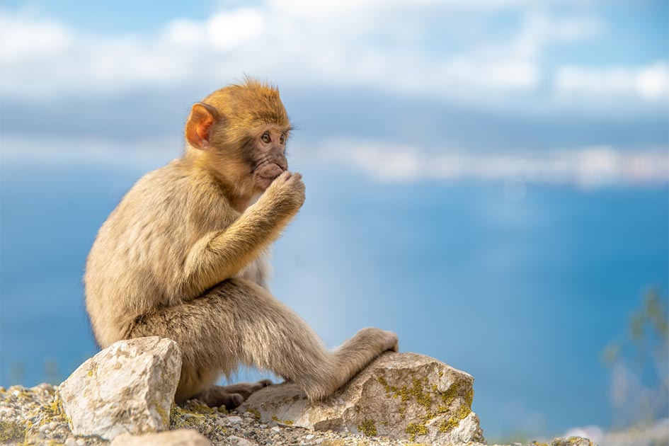 Dientes de mono de 34 millones de años encontrados en Perú indican que cruzaron el Atlántico desde África. Fuente: edojob/ Adobe Stock