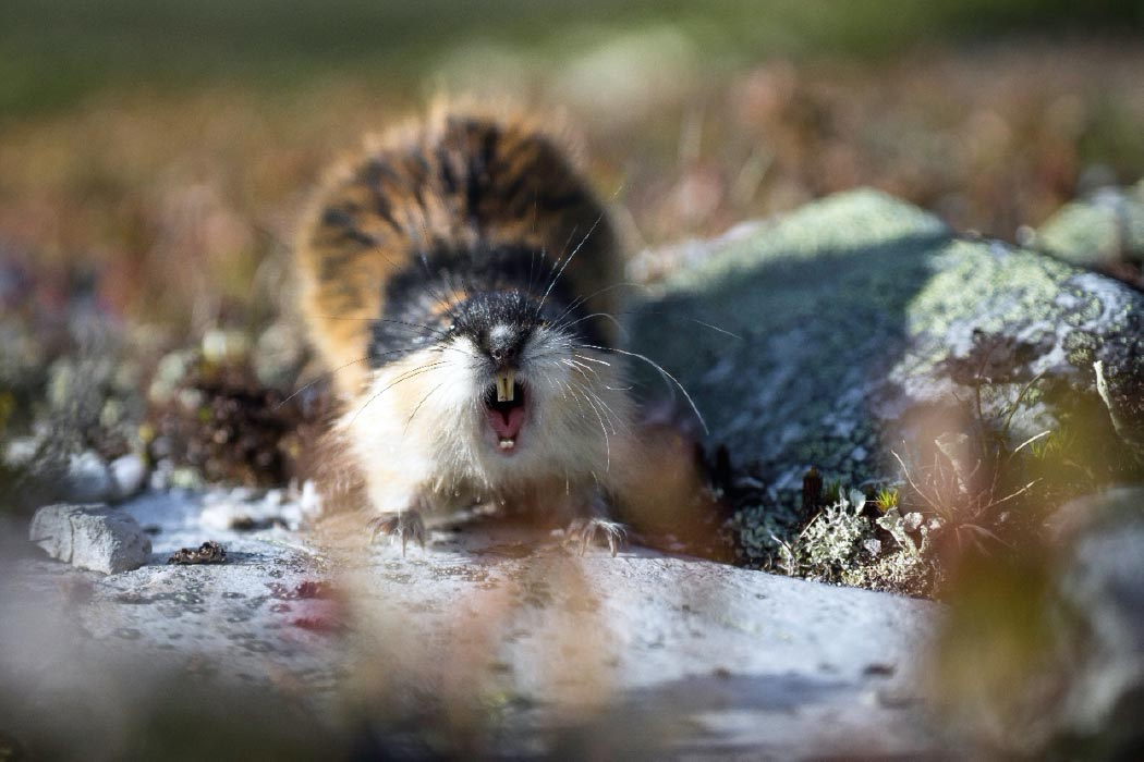 Un lemming moderno. Crédito: Jon Anders Wiken/ Adobe Stock