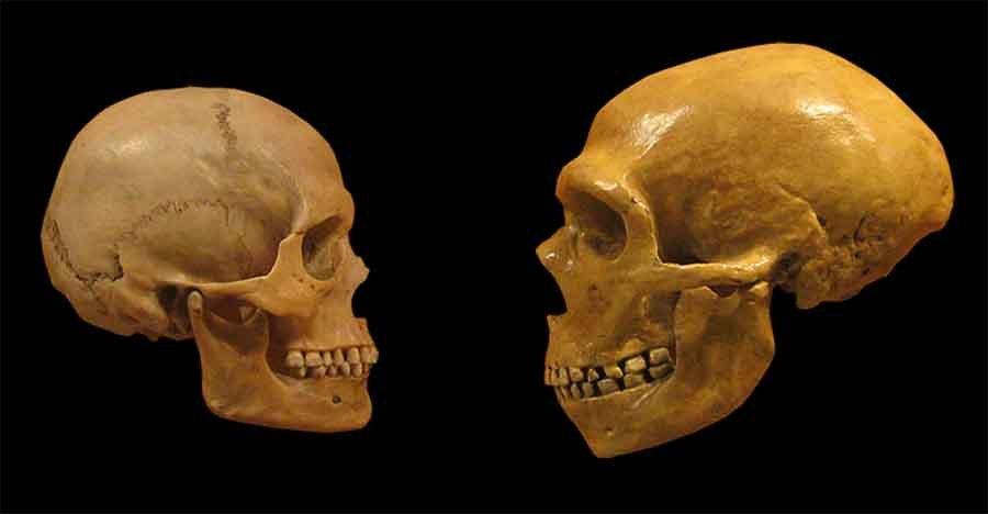Una comparación de cráneos humanos modernos (izquierda) y neandertal (derecha) del Museo de Historia Natural de Cleveland