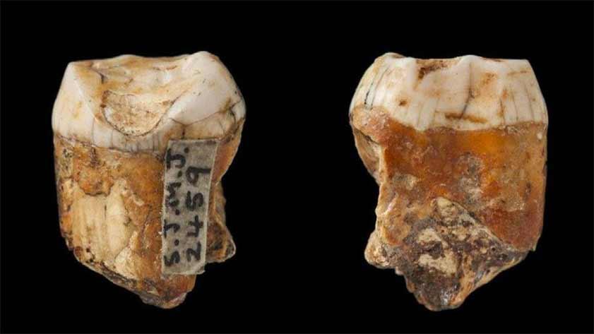 El nuevo análisis de los dientes de Neanderthal encontrado en Jersey en el inicio del siglo XX parece probar que el entrecruzamiento de Neanderthal con los humanos modernos era más común de lo que se pensaba anteriormente.