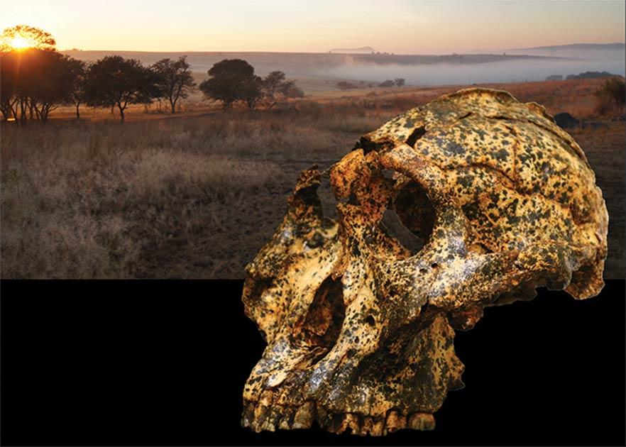 El cráneo de Paranthropus recién descubierto.