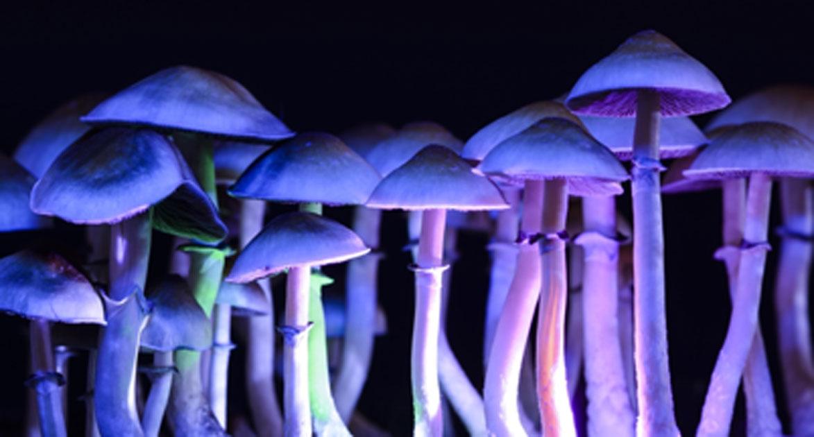 los hongos mágicos contienen la psilocibina química que causa alucinógenos. Fuente: Martina / Adobe Stock.
