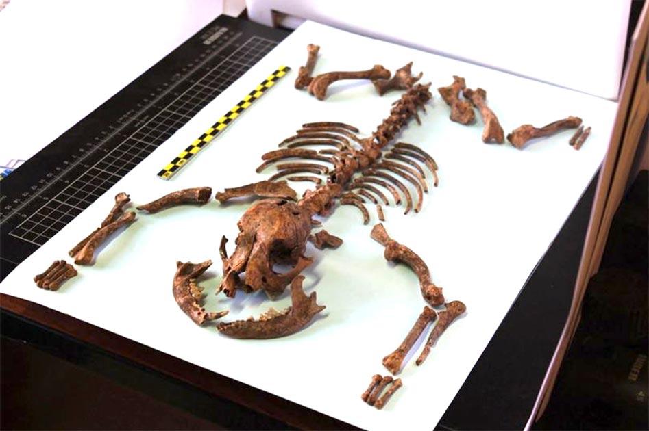 Los restos del perro de juguete romano revelan su pequeña estatura y una dieta saludable similar a la de sus dueños. Fuente: Martínez Sánchez / University of Granada