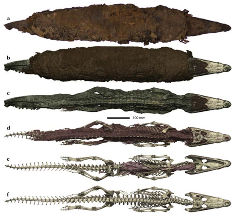 Foto y representación 3D de la momia de cocodrilo. (Porcier et al.)