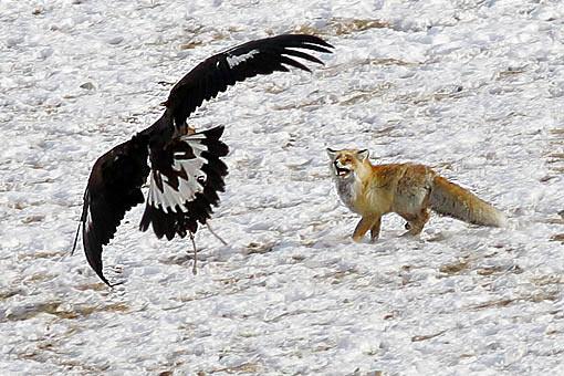 golden-eagle-hunting.jpg