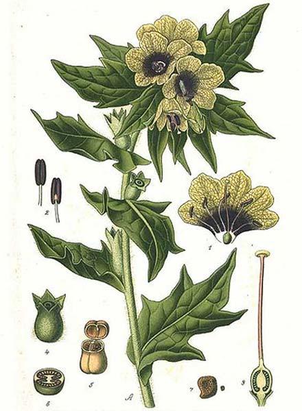 Hyoscyamus niger L. (dominio público)