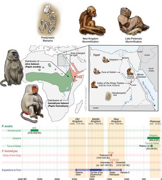 Egipto se encuentra mucho más allá de las distribuciones de P. Anubis y P. Hamadryas, y no hay evidencia de poblaciones naturales en Egipto durante la antigüedad. Por tanto, los restos de mandriles en Egipto se interpretan como prueba de comercio exterior. (Dominy et al. 2020 / eLife)