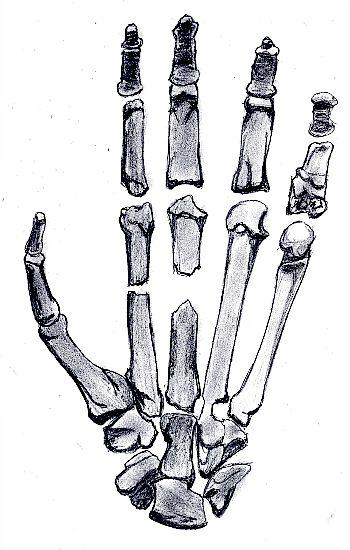Esquema de la mano de un Ardipithecus. (Wikimedia Commons)