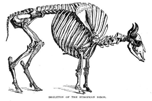 Ilustración mostrando el esqueleto de un bisonte europeo (uro), uno de los animales de los que se alimentaban los neandertales que habitaban la Cova de les Teixoneres (Wikimedia Commons)