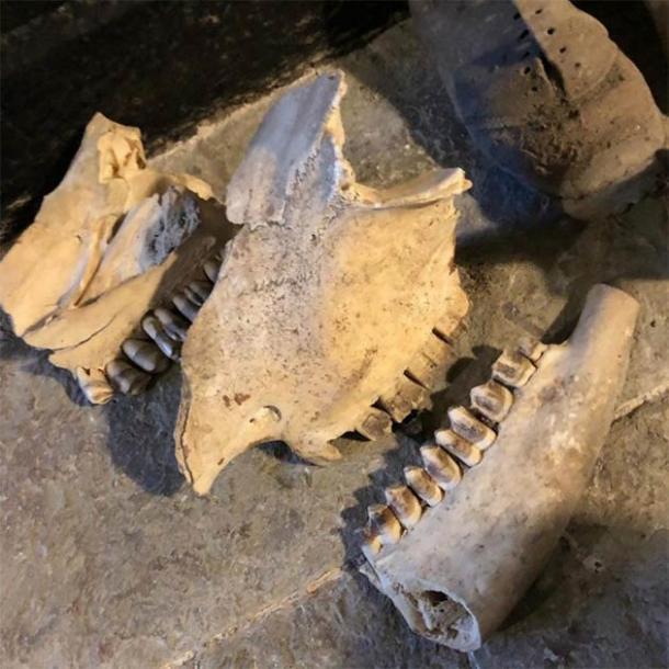 El cráneo de un caballo también fue parte de los hallazgos de la guarida de brujería galesa. (Consejo del condado de Kerrie Jackson / Denbighshire)
