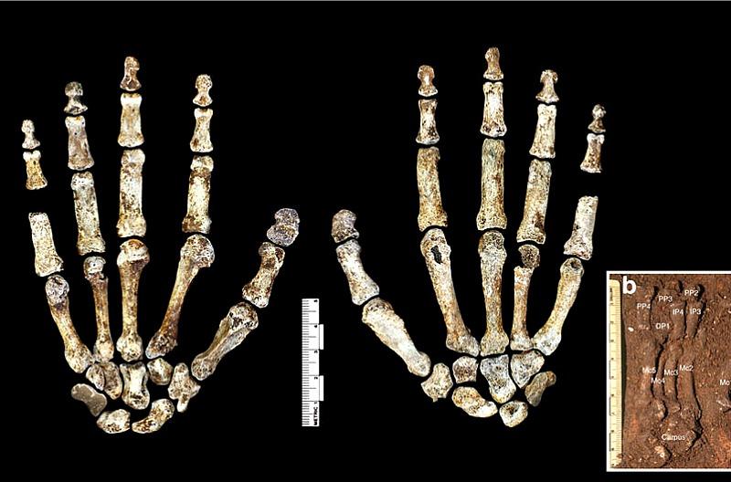 """Las manos del """"Homo naledi"""" presentan características anatómicas muy modernas y muy similares a las del hombre actual. (Fotografía: Nature Communications)"""