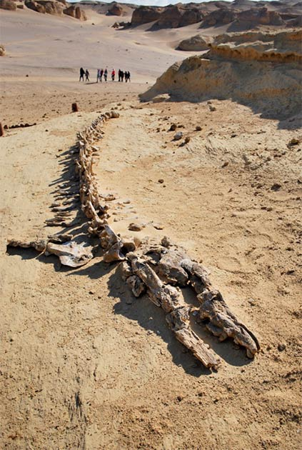 En Egipto se han descubierto muchos esqueletos de ballenas primitivas. En 2016, el primer esqueleto completo de Basilosaurus fue descubierto en Wadi El Hitan, preservado con los restos de su presa. Ningún otro lugar tiene una cantidad, concentración o calidad tan grande de fósiles de este tipo.