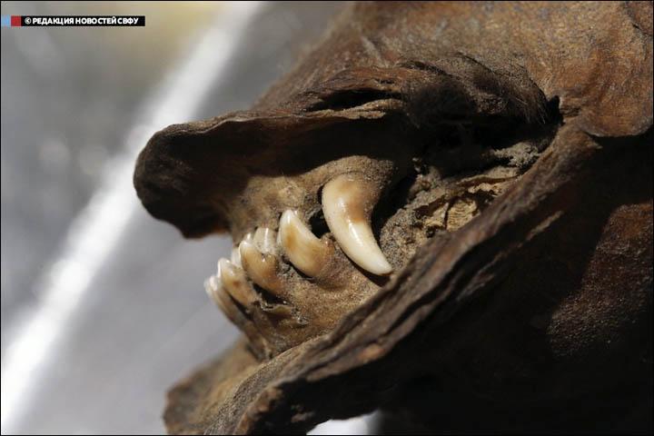 Cachorro-Perro-Momificado-Siberia-12000-años-dentadura Foto: NEFU