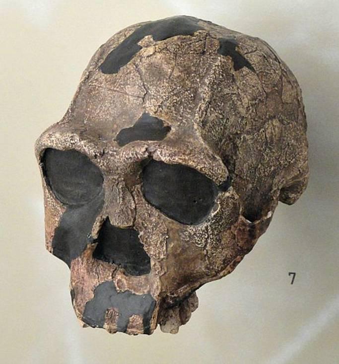 Cráneo de Homo erectus. Museo de la Naturaleza y el Hombre de Friburgo. (Wikimedia Commons)