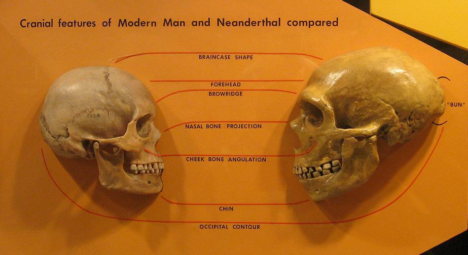 Comparación anatómica de cráneos de Homo Sapiens (izquierda) y Homo neanderthalensis (derecha). Museo de Historia Natural de Cleveland. (hairymuseummatt/CC BY – SA 2.0)
