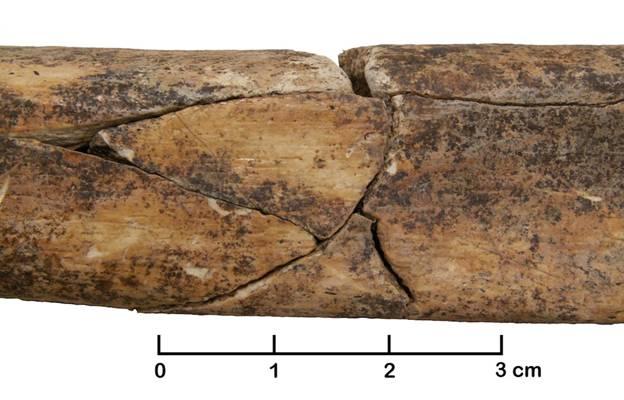 Se han encontrado muchos huesos rotos en una antigua fosa común de Alemania, como esta tibia fracturada perteneciente a un individuo adulto. Foto: Christian Meyer