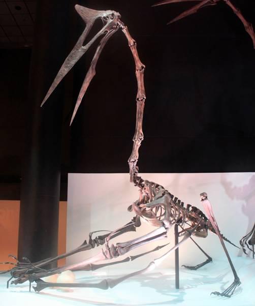 Fósil de un ejemplar de Quetzalcoatlus northropi, un pterosaurio que vivió hace unos 70 millones de años (Foto: Yinan Chen/Wikimedia Commons)