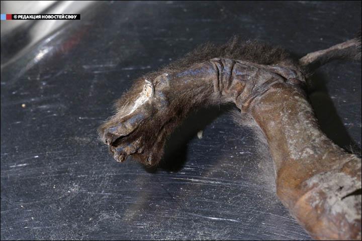 Cachorro-Perro-Momificado-Siberia-12000-años-detalle-pata Foto: NEFU