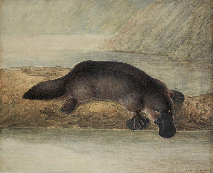 Pintura de un ornitorrinco, John Lewin, Nueva Gales del Sur, Australia (1808) (Wikimedia Commons)