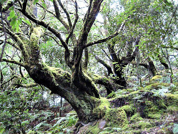 Parque Nacional de Garajonay, isla de La Gomera, la mayor reserva de laurisilva de las Islas Canarias. (Wikimedia Commons)