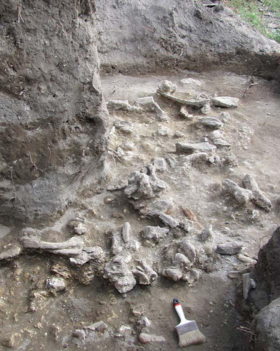 Lecho óseo expuesto en las facies A y C en el pozo G09 de las excavaciones de 2010 en Ngandong. (Derechos de autor Russell L. Ciochon)