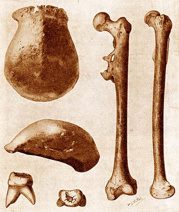 Los tres fósiles principales del Hombre de Java encontrados en 1891–92: un casquete, un molar y un hueso del muslo, cada uno visto desde dos ángulos diferentes. (120 / Dominio Público)