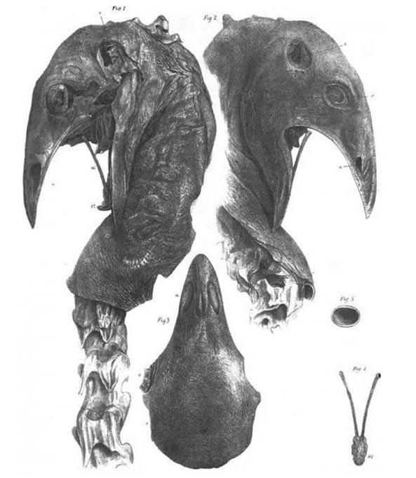 Cabeza momificada de un moa de las tierras altas (Wikimedia Common)