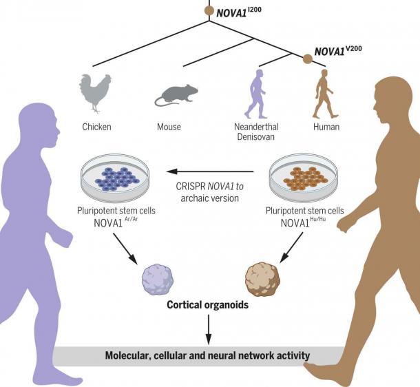 Cómo se utilizó el gen NOVA1 para crear organoides corticales para los mini-cerebros utilizados en el estudio. (Trujillo et al / Science)