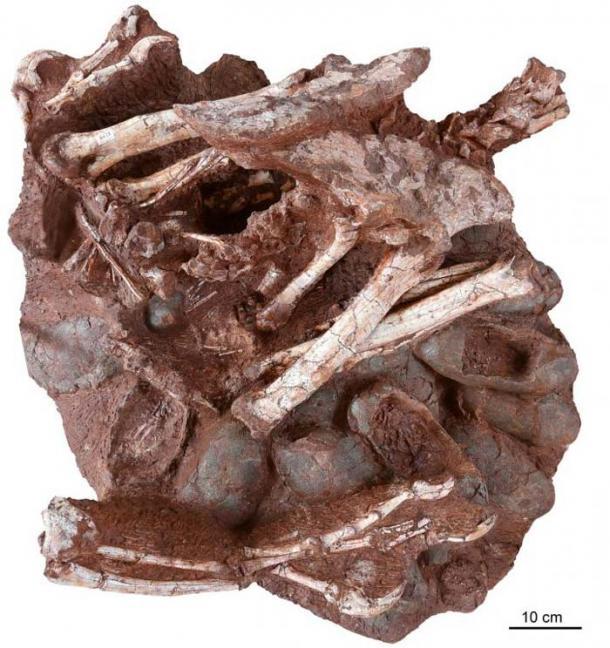 El fósil de 70 millones de años en cuestión: un dinosaurio terópodo oviraptórido adulto sentado sobre un nido de huevos fosilizados. Múltiples huevos (incluidos al menos tres que contienen embriones) son claramente visibles, al igual que los antebrazos, la pelvis, las patas traseras y la cola parcial del adulto. (Shundong Bi, Universidad de Indiana de Pensilvania)