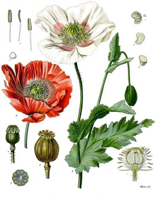 Papaver Somniferum. Dominio público)