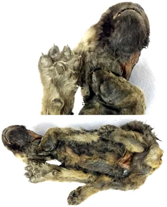 La suposición es que este puede ser un cachorro de un lobo, un perro o el llamado perro lobo / perro temprano, una etapa de transición de un lobo a un perro. (Sergey Fedorov)