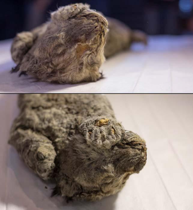 """""""Existe una posibilidad muy realista de recrear leones cavernarios [...]"""" (Siberian Times)"""